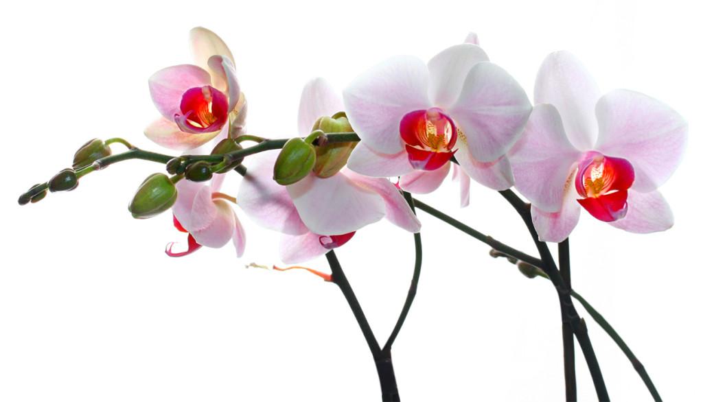 entretenir une orchid e en pot toutes nos astuces. Black Bedroom Furniture Sets. Home Design Ideas