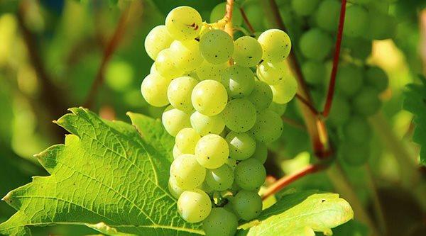 Vigne biologique
