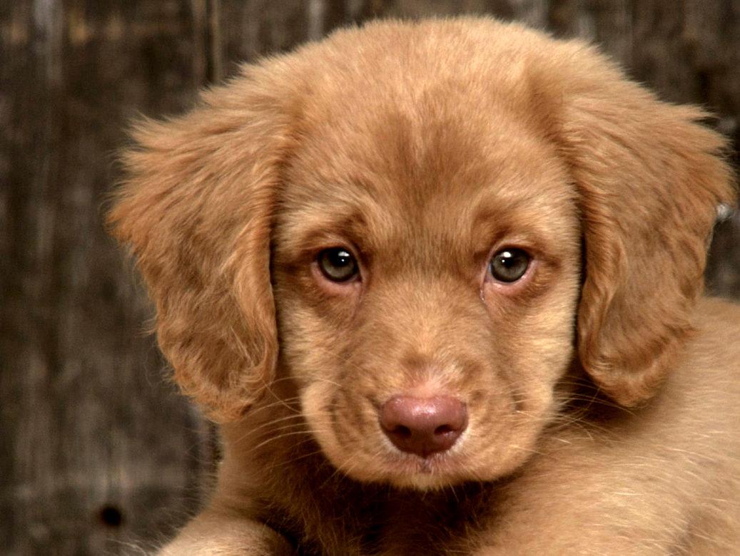 grandes-oreilles-adopter-un-chiot
