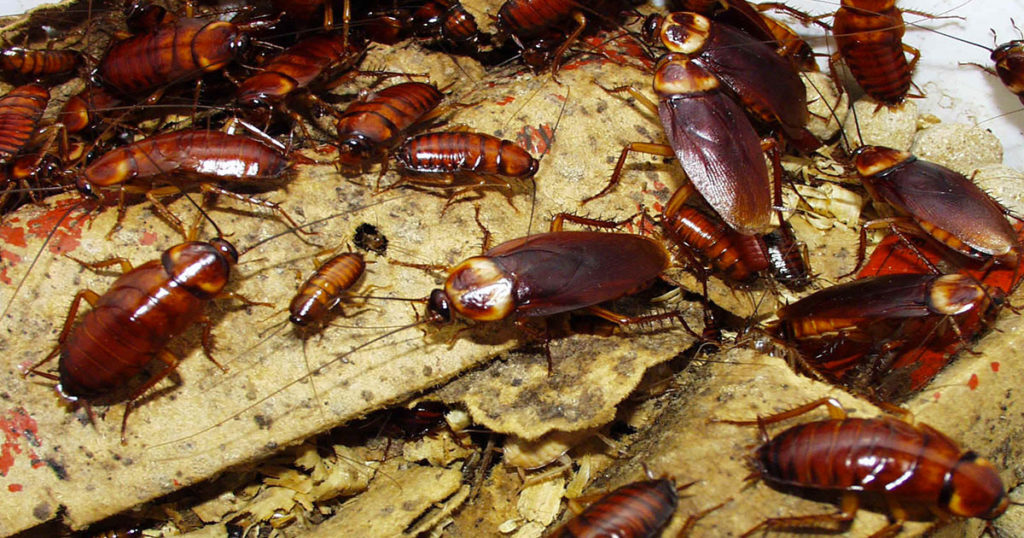 blattes-cafards